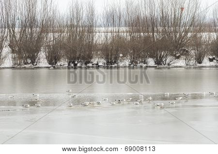 Group Of Gulls On Frozen River