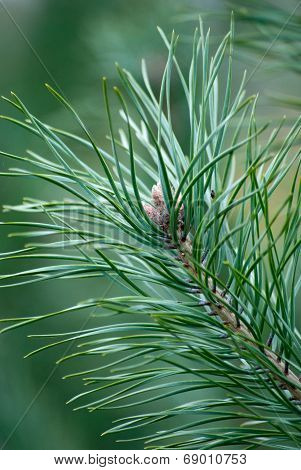 Fir Tree Branch With