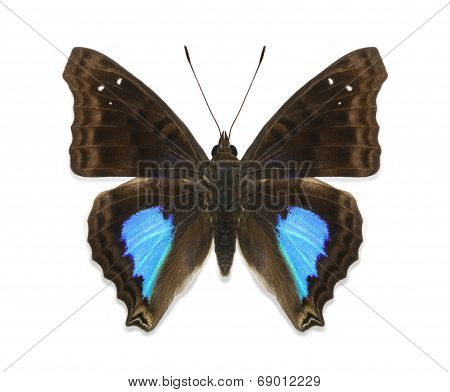 Isolated Tropical Butterfly Doxocopa Cyane Sp. Reducta