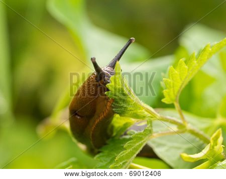 Brown Naked Slug On Leaf
