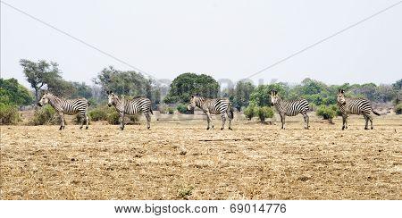 Zebra, five