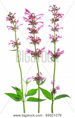 Mexican giant hyssop (Agastache Mexicana)