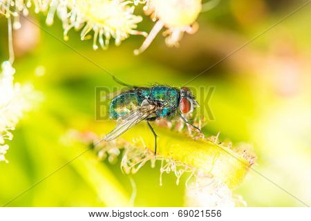 Common Green Bottle Fly (lucilia Sericata) Sitting On  Green Leaf