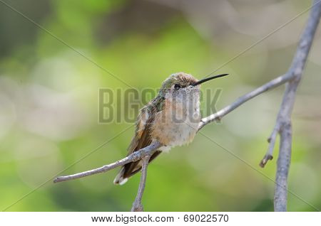 Broad-tailed Hummingbird On Branch