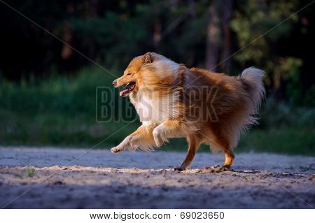 Collie dog running happily in a beam of light on a dark background.