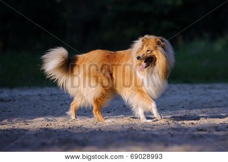 Beautiful fluffy ginger Collie walking in freedom and looks back