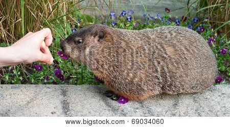 Hand Feeding Marmot With A Flower