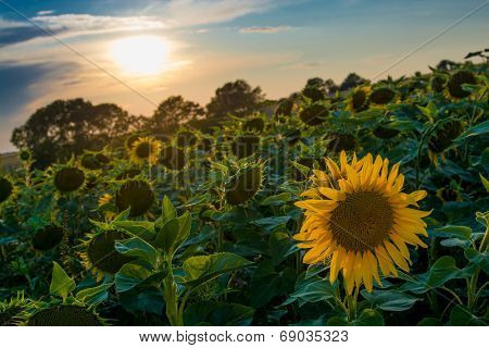 field of blooming sunflowers on a background sunset