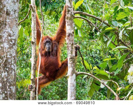 Female Borneo Orangutan At The Semenggoh Nature Reserve, Kuching, Malaysia