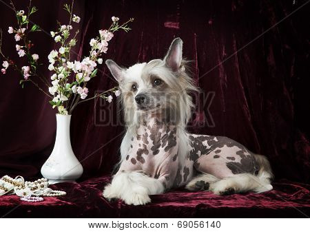 Hairless Chinese Crested Dog In Front Of Vinous Background
