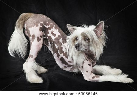 Hairless Chinese Crested Dog, 1,5 Years Old
