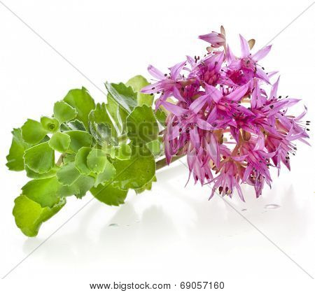 Herbaceous Perennial Plant  Crassulaceae Sedum close up isolated  on a white background