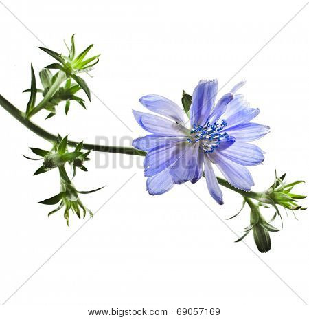 Common chicory flower Cichorium intybus isolated  on a white background