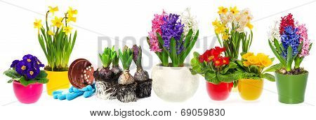 Spring Flowers Hyacinth, Narcissus And Primroses