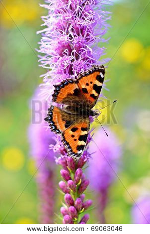 small tortoiseshell butterfly sitting on a purple flower