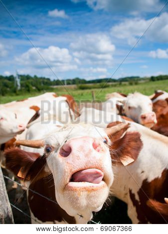 Funny Close Up Of A Cow Grazing In A Field In The Summer (focus On The Nose)