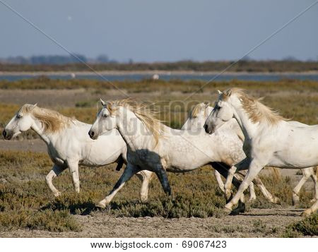 Galloping White Horses With Flamingos In The Back In Parc Regional De Camargue, Provence, France