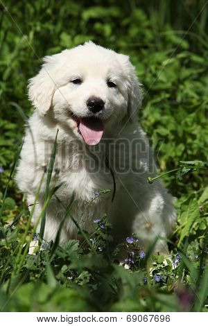 Nice Puppy Of Slovakian Chuvach In The Grass