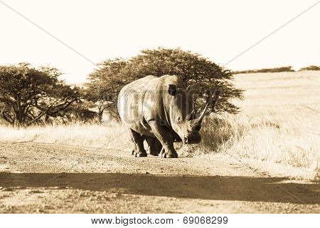 Rhinoceros Wildlife Animal