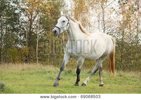 White Arabian Horse Trotting In The Forest