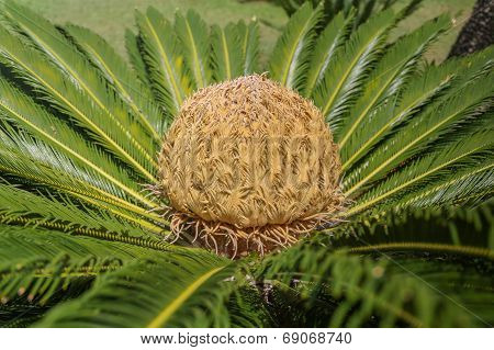Cycas Palm With A Large Seed In It's Center