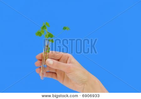 Hand holding tube with fresh sorel (oxalis)
