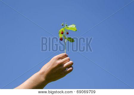 Hand Hold Strawberrie Spray On Blue Sky Background