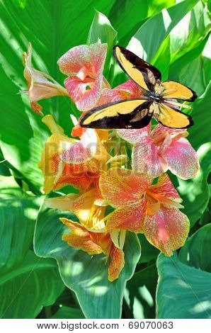 Butterfly And   Canna