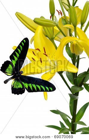 Yellow Lily And Butterfly