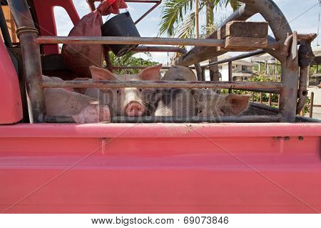 Pigs Going To Slaughter