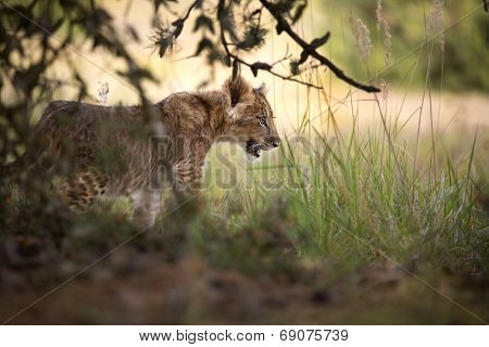Lion cub in wild