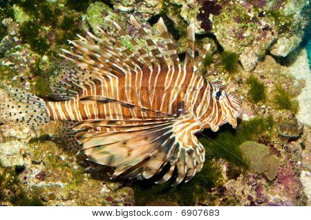 Volitan Lionfish In Aquarium