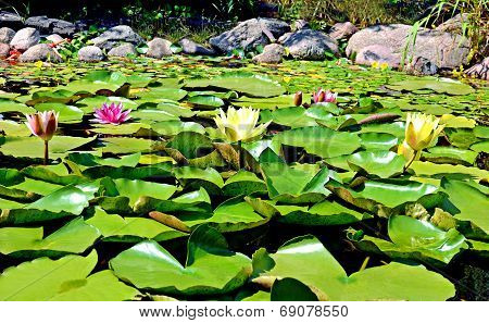water lilies with green leaves in a pond