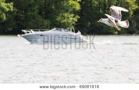 A Seagull chasing speedboat