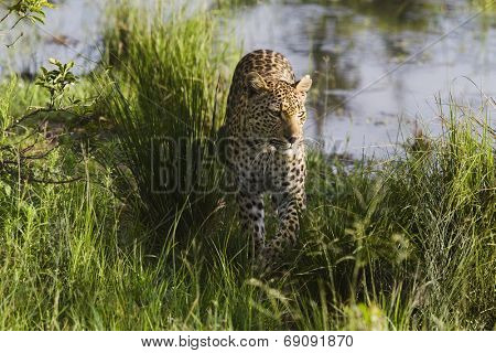 Leopard (Panthera pardus) walking in grass
