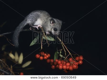 African Pygmy Squirrel Foraging Berries