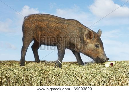 Side view of a brown pig sniffing food on hay against sky