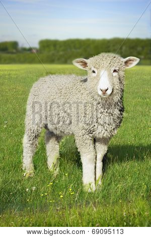 Portrait of a lamb standing in the green field