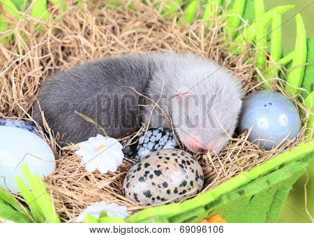 Ferret baby in the nest of hay