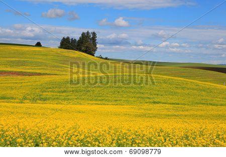 Rapeseed fields near Palouse in eastern Washington state