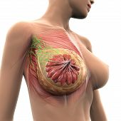 picture of fat cell  - Female Breast Anatomy Illustration  - JPG