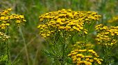 foto of tansy  - Photo tansy flowers in a field on a background of green grass - JPG
