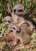 stock photo of meerkats  - Meerkats of  - JPG