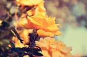 foto of climbing roses  - Close up of beautiful yellow climbing roses called Gold Bunny or Gold Badge in a Spring rose garden  - JPG