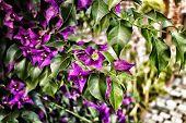 stock photo of glorious  - Bougainvillea glabra - JPG