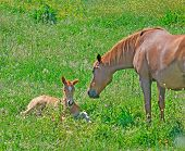 image of mare foal  - foal and mare in a green field - JPG