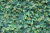 pic of creeper  - The Green Creeper Plant on a Wall - JPG