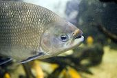 foto of nostril  - Closeup of a freshwater Tambaqui fish - JPG