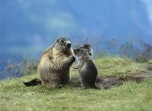 foto of marmot  - Marmot with Young - JPG