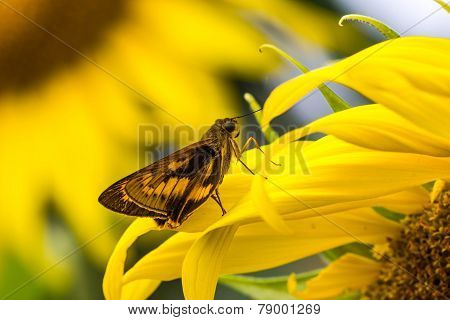 Bush Hopper Butterfly (hesperiidae: Ampittia Dioscorides) On Sunflower